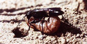Bộ sưu tập côn trùng 2 - Page 4 P_luctuosa