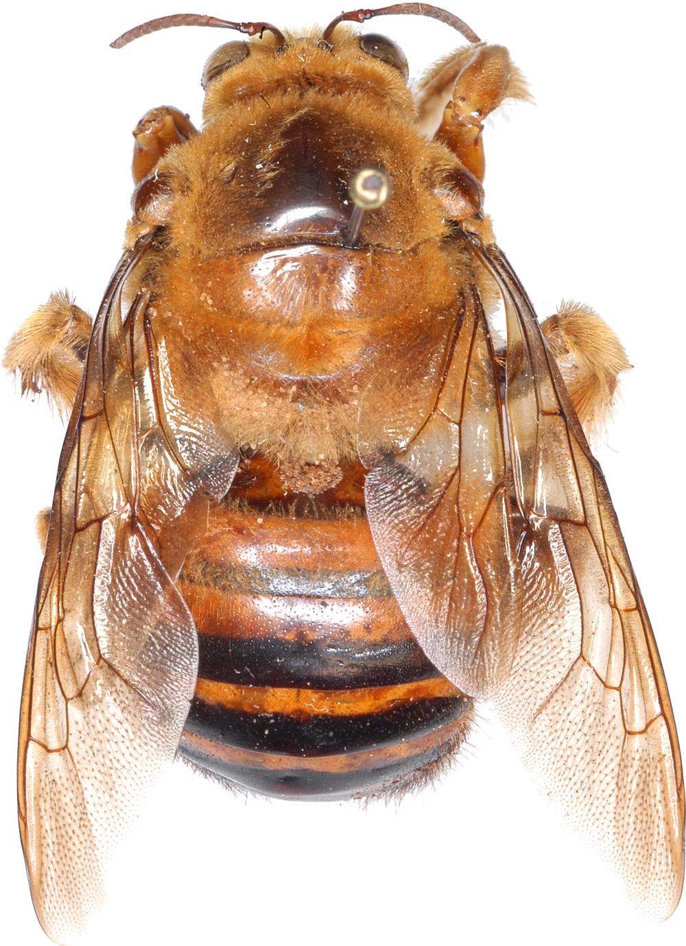 Sennertia frontalis Vitzthum, 1941 (Acari: Chaetodactylidae)